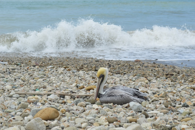 A stubborn pelican refuses to leave its nest on the beach.