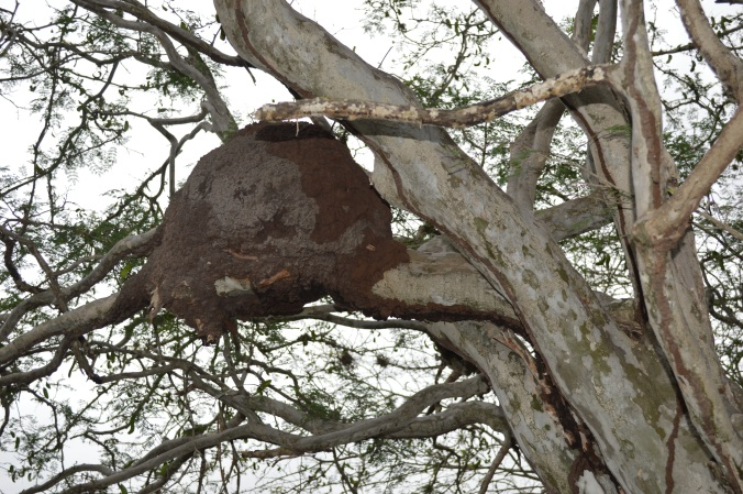 Termite nest near the spring.