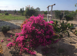 On a positive note, my bougainvillea is looking pretty good for such dry conditions.